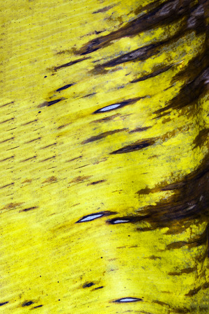 Yellow banana leaf abstract background of nature