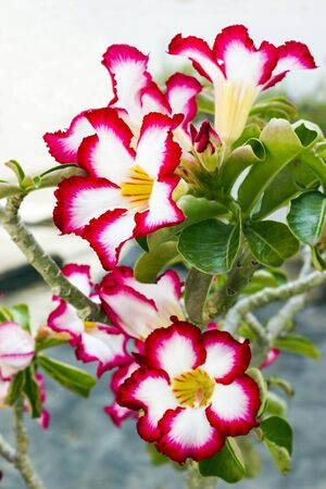 Red and white Adenium flower with leaf