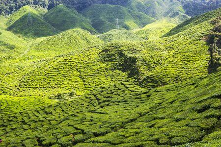 Green tea farm at Cameron Highlands, Malaysia