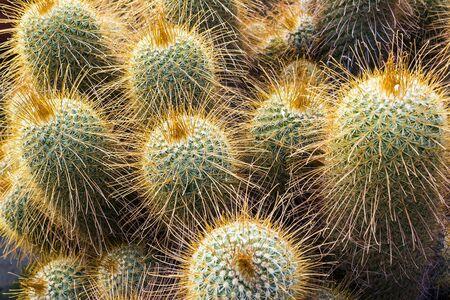 Natural cactus flora green thorn