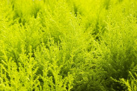 Green yellow fern in nuture tropical