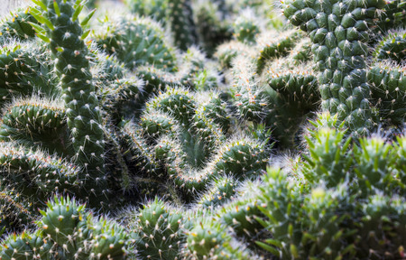 Green Cactus plant in tropical nature