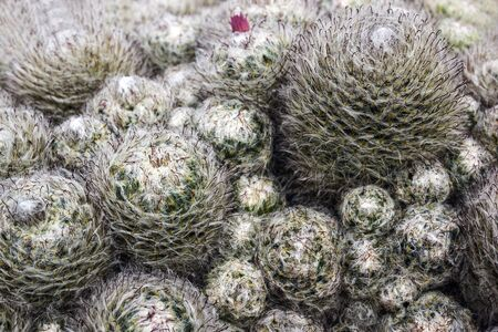 Cactus with hair on ground