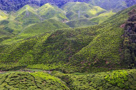 Green tea field Cameron Highlands, Malaysia
