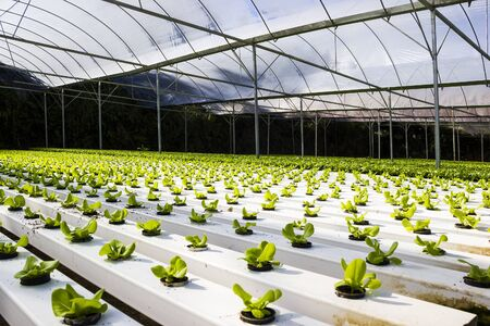 Organic hydroponic plant growing without soil Stock Photo