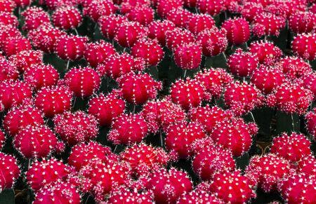 Pink cactus flower in garden