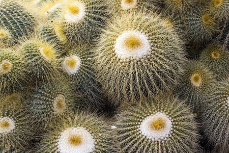 Yellow Thorn of green cactus in nature Stock Photo