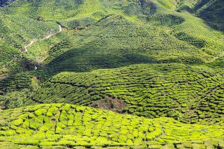 Green tea field in Cameron Highlands, Malaysia Stock Photo