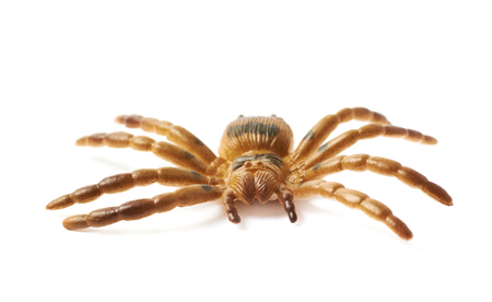 tarantula: Fake rubber spider toy isolated over the white background Stock Photo