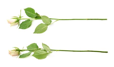 long stem roses: Single white rose isolated over the white background, set of two different foreshortenings