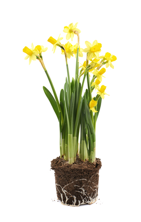yellow earth: Yellow narcissus flower in a earth cylinder without a pot, composition isolated over the white background