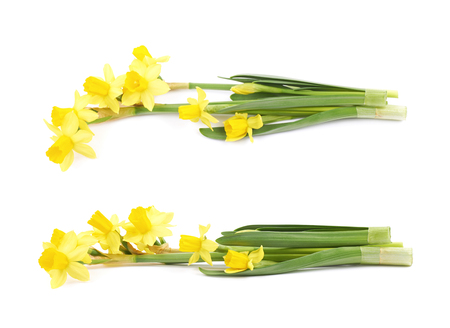 Single yellow narcissus flower lying on its side, composition isolated over the white background, set of two different foreshortenings