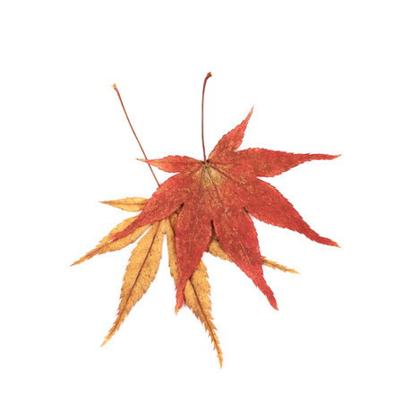 momiji: Japanese red and yellow maple leaves isolated over the white background