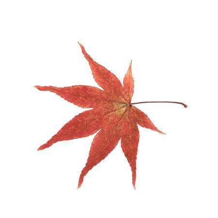 Hoja de arce japonesa rojo aislada sobre el fondo blanco Foto de archivo - 77613648