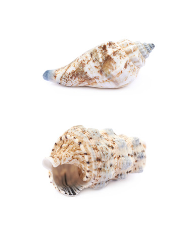 oceanic: Sea shell isolated Stock Photo