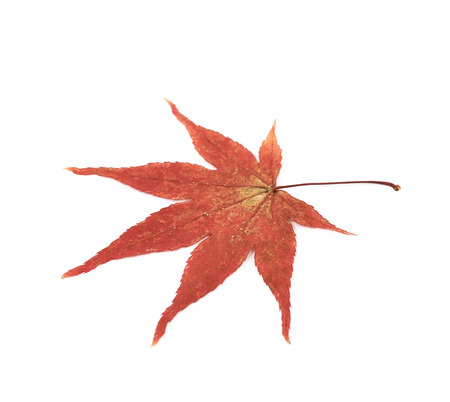 acer palmatum: Red Japanese maple leaf isolated over the white background