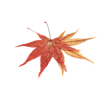 acer palmatum: Japanese red and yellow maple leaves isolated over the white background