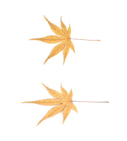 acer palmatum: Japanese maple leaf isolated over the white background, set of two different foreshortenings Stock Photo