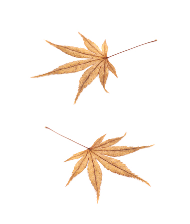 Japanese maple leaf isolated over the white background, set of two different foreshortenings Stock Photo