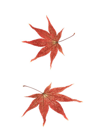 Red Japanese maple leaf isolated over the white background, set of two different foreshortenings Stock Photo