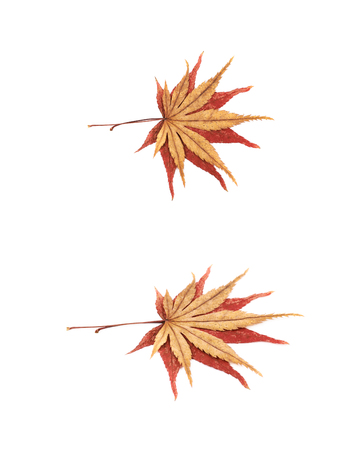 Japanese red and yellow maple leaves isolated over the white background, set of two different foreshortenings Stock Photo