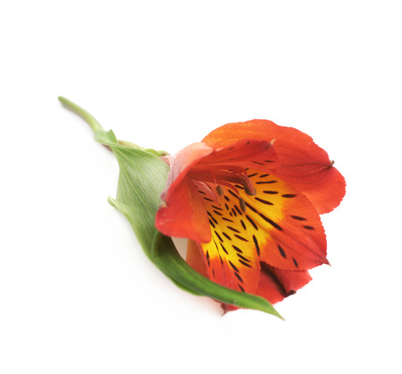 Red Alstroemeria flower isolated