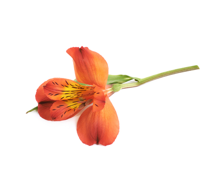 Red Alstroemeria or peruvian lily flower isolated over the white background