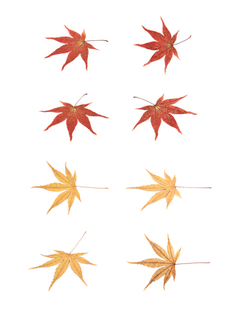 Japanese maple leaves isolated