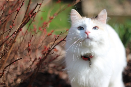 cat, kitten, white cat photo