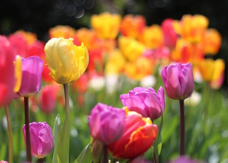 tulips, colorful tulips, springtime, flowers photo