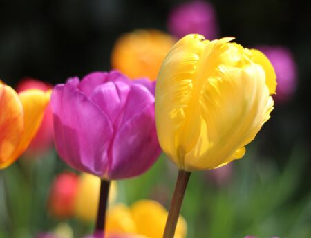 Tulips, isoled flower photo