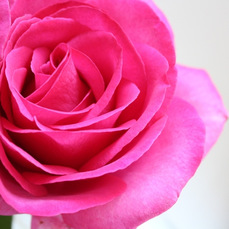 Rose, flower photo