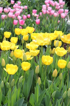 yeloow: Tulips Stock Photo