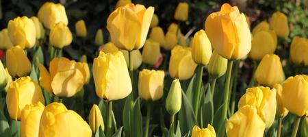 yeloow: Yellow Tulips Stock Photo