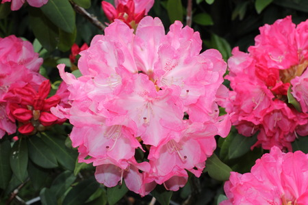 rhododendron flowers photo