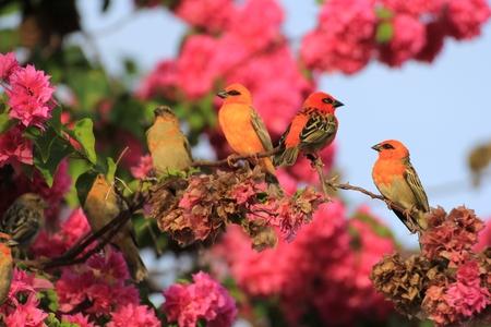 bird of paradise: Cardinal bird