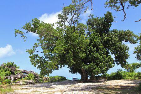 tropical tree: �rbol tropical, latanier