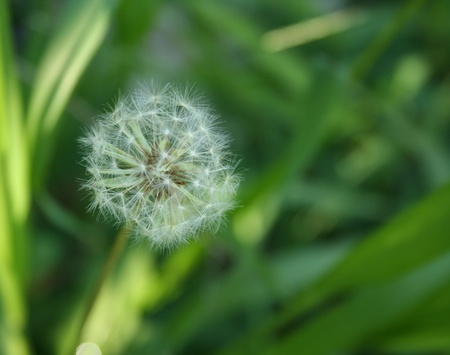 seeding: Close up view of Dandilion in seeding stage with unfocused green grass background