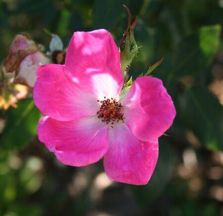wild  rose: Rosa Wild Rose Bloom Archivio Fotografico