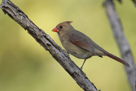 Female Northern Cardinal perched in a tree branch