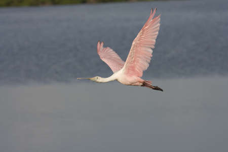 roseate: Roseate Spoonbill flying across the pond Stock Photo