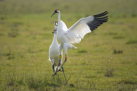 Whooping Cranes dancing the mating dance