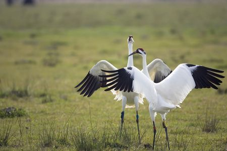 whooping: Whooping Cranes doing the mating dance