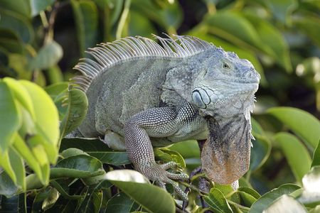 cold blooded: Green Iguana soaking up the sunlight