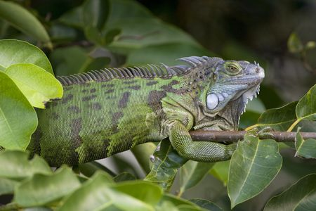cold blooded: Green Iguana sunning in a tree