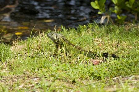 cold blooded: Green Iguana sunning