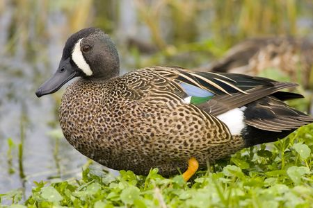 water fowl: Blue-winged Teal resting on the bank