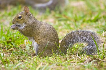 Gray Squirrel playing with an object Stock fotó