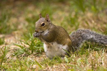 회색 다람쥐 개체에 씹는