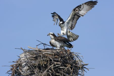 copulation: Osprey approaching the female for copulation Stock Photo